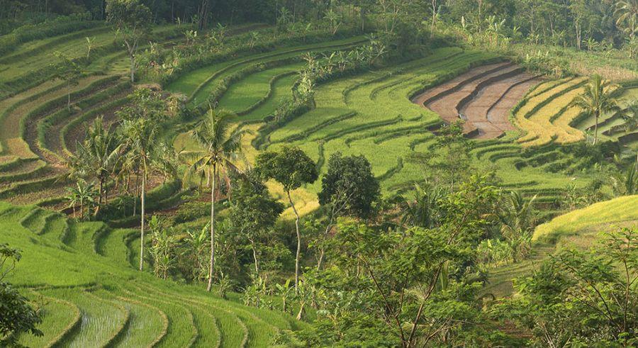 Selogriyo Rice View